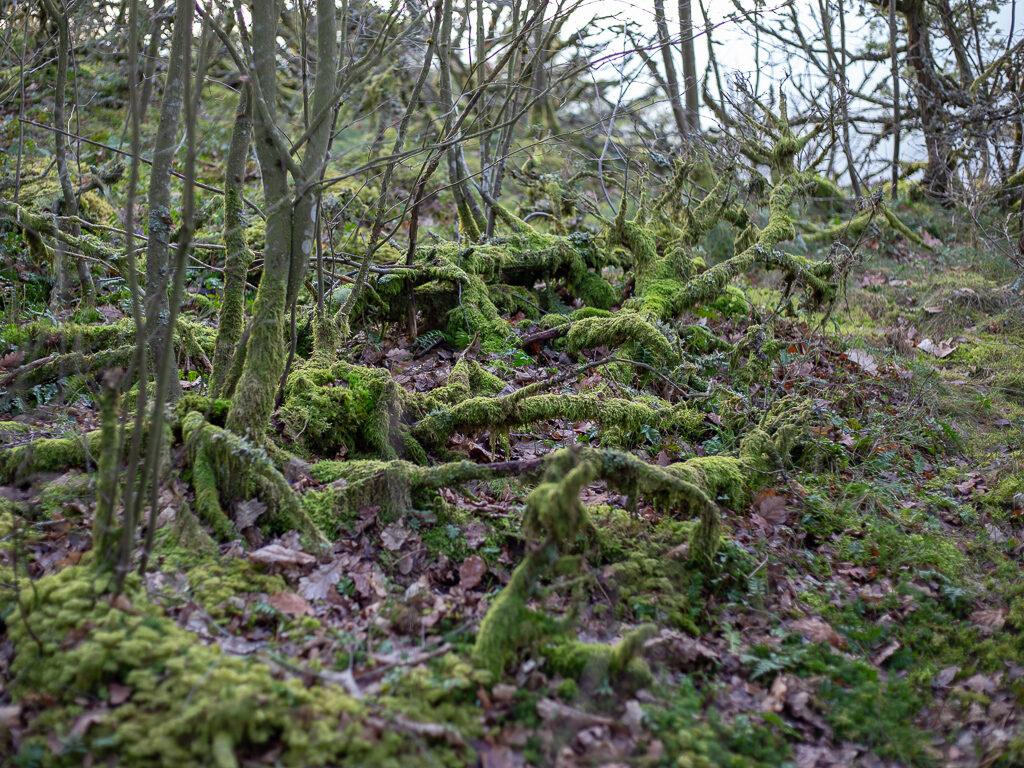 mossa runt gamla trädgrenar