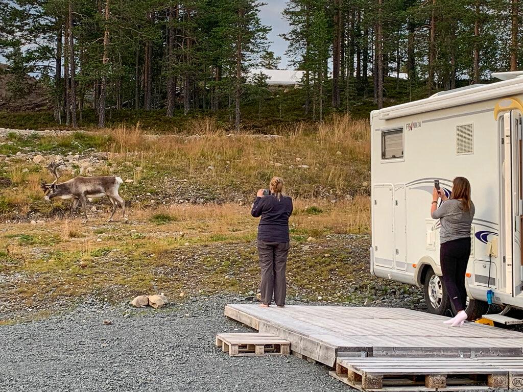 Campingen Renen fick besök av en ren.